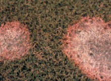 Pink-snow-mold